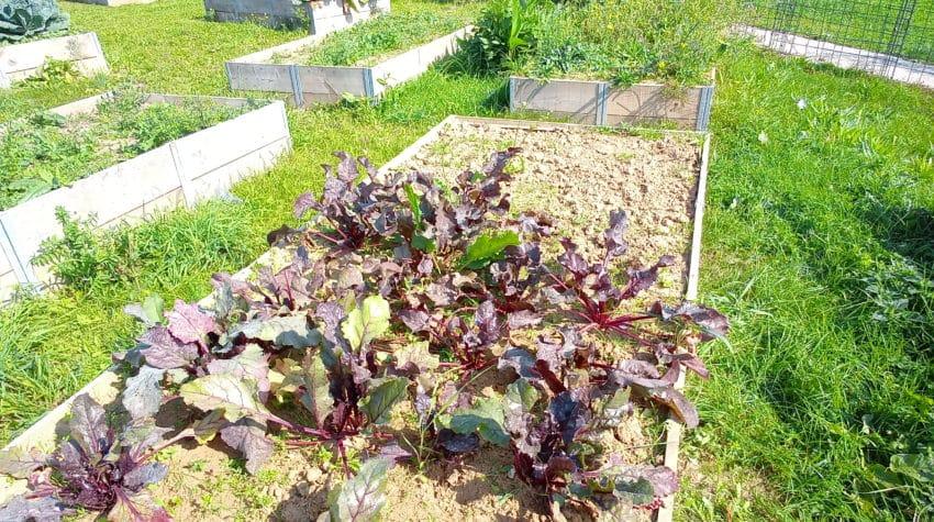 Au jardin potager de l'EVS